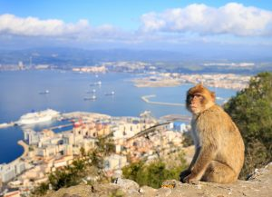Barbary Macaque with harbour seascape in background